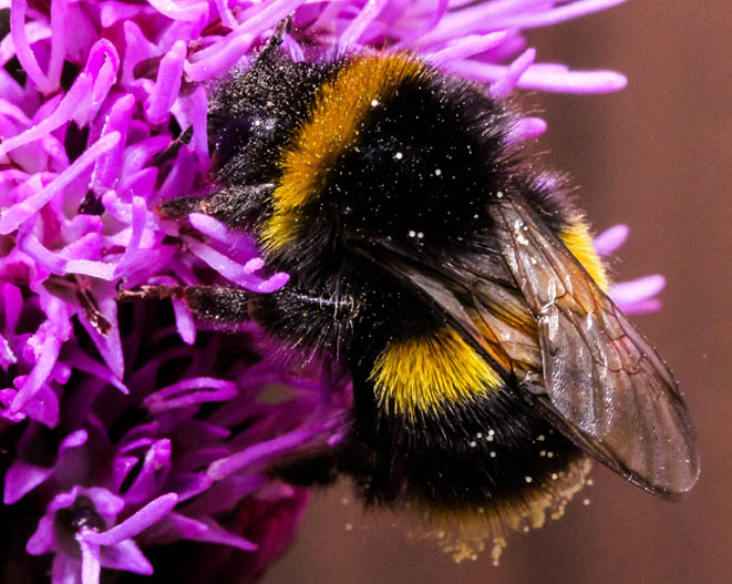 Bumble Bee, Native Bees of North America