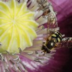 hoverfly-fly-insect-macro-56842