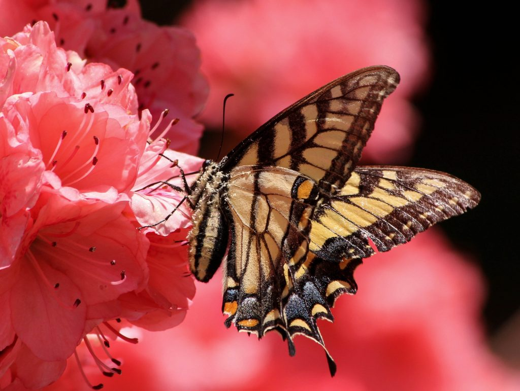 butterfly-flying-insect-old-world-swallowtail-pollen-70352