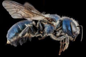 Might Mason Bees